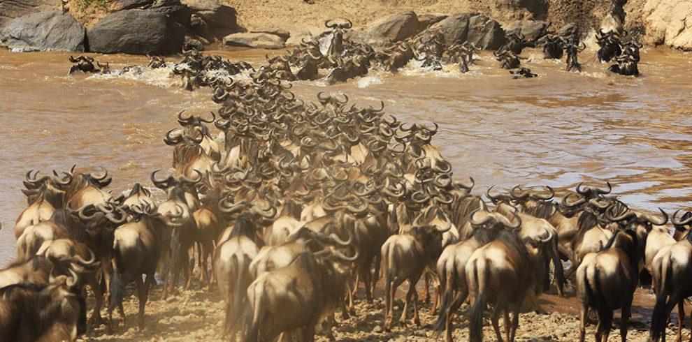 Zebra plains masai mara migration